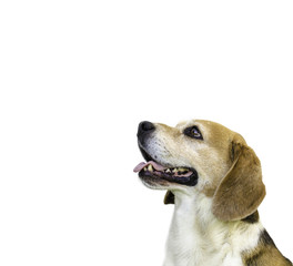 Beagle dog isolated on white.