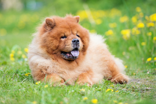 red chow chow dog lying down outdoors