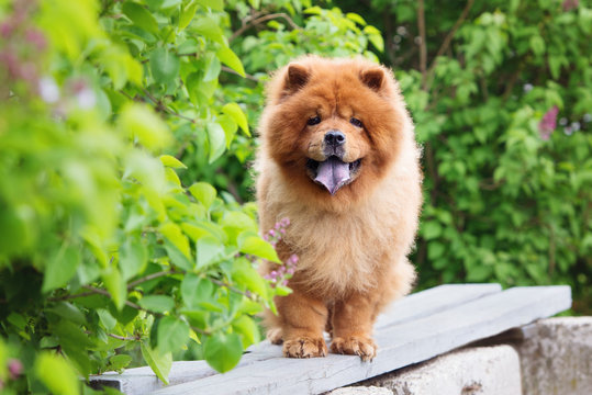 red chow chow dog standing on a bench