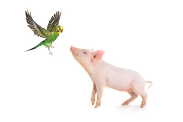 pig and budgie
