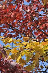 autumn maple leafs, Canada