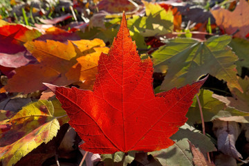 autumn maple leafs, Canada