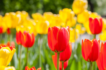 Papiers peints Tulip Background of red and yellow flowers. Tulips. Decorative plants.