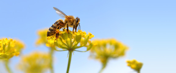Photo sur Aluminium Bee Honeybee harvesting pollen from blooming flowers.