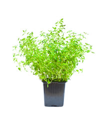 isolated thyme plant in the pot