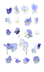 Blue pansy flowers arranged in rows isolated on white.