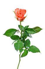 Orange Rose flower white background.