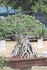 Closed up big Adenium obesum or desert rose in bonsai style