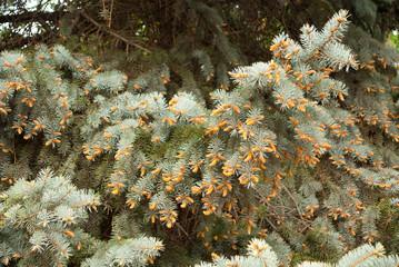 branch blue spruce