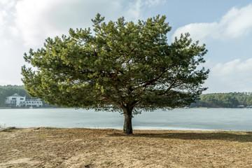 old tree near Kaunas Lagoon
