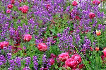 Hintergrund - Buntes Blumenfeld mit gefüllten Tulpen - lila-rot