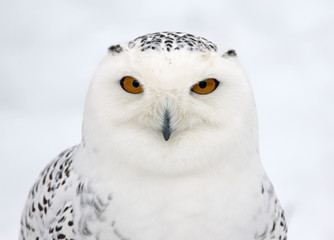 Wall Mural - Snowy Owl Profile