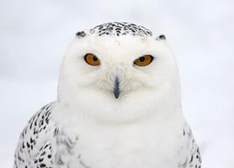 Fotoväggar - Snowy Owl Profile