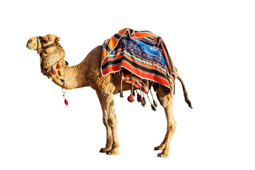 Camel in a colorful horse-cloth on a white background