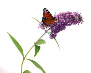 Fototapeta Buddleja davidii - Butterfly bush on a white background obraz