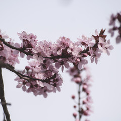 cherry tree flowers blooming in early spring