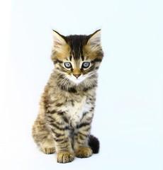 chaton tigré,bringé brun yeux bleus;fond blanc