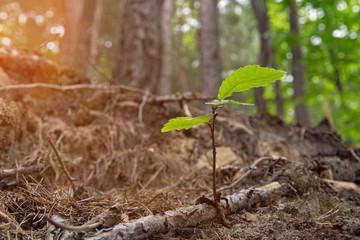 Junger Kastanienbaum Spross im Abendlicht