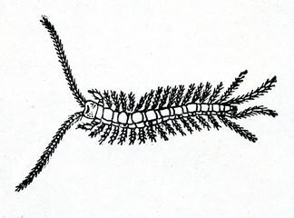 Stone centipede (Lithobius)