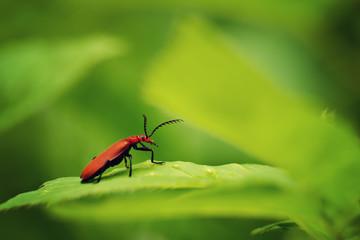 Fire-coloured beetle