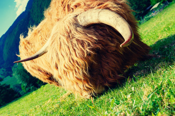 Funny cow (yak) grazing in mountain fields in summer.  Wall mural