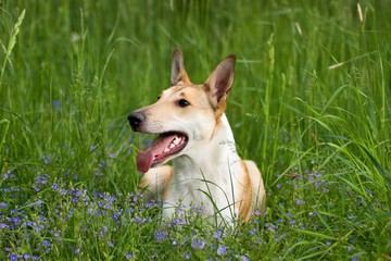 shorthaired collie resting in the grass
