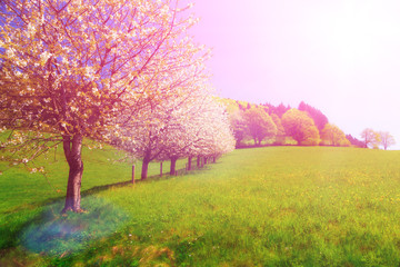 Dreamy summer landscape with blossoming cherry trees in fields.