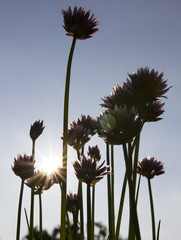 Chive standing in direct sun with big purple flowers