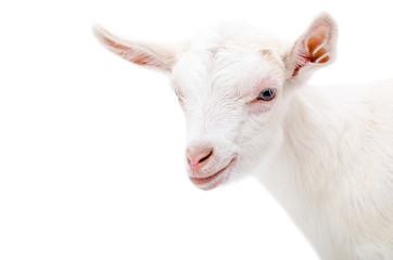Portrait of a white little goat
