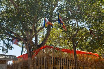 Temple of Sri Maha Bodhi the oldest planted tree, Anuradhapura