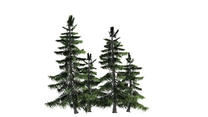 Alaska Cedar tree cluster - separated on white background
