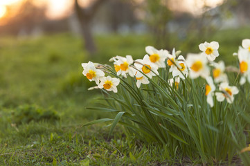 A bunch of daffodils growing in spring.