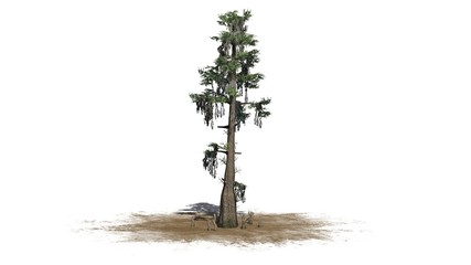 bald cypress tree  - separated on white background