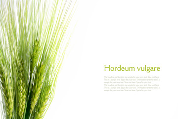 bouquet of green barley ears isolated on white background, sampl