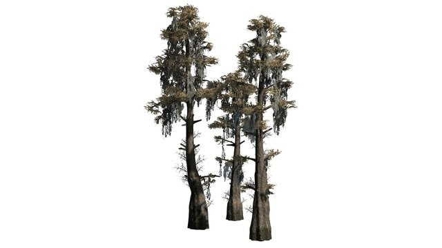 bald cypress tree cluster fall - separated on white background