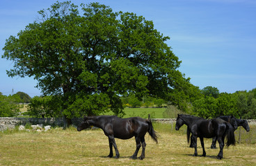 horses of the Murgia and great oak in the countryside of Apulia