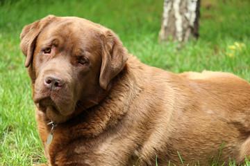labrador retriever dog portrait