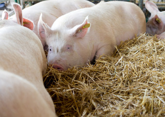 Pigs laying on hay