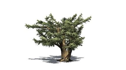 Cedar of Lebanon tree - separated on white background
