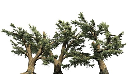 Cedar of Lebanon tree cluster - separated on white background