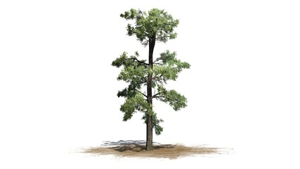 Eastern white pine tree cluster - separated on white background