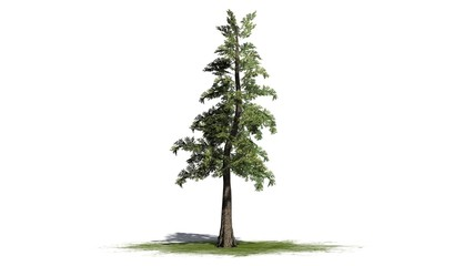 Western red Cedar tree - separated on white background