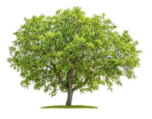 Walnussbaum vor einem weißen Hintergrund