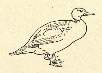 Common merganser (Mergus merganser)