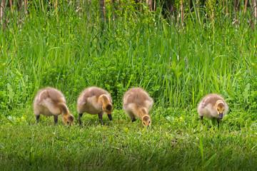 Line of Four Goslings (Branta canadensis)