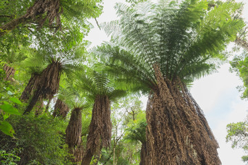 Giant tree ferns in the Amboro National Park