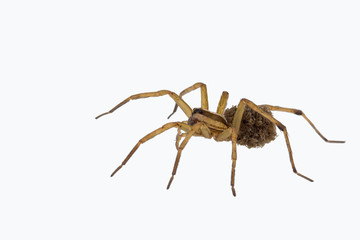 Female wolf spider carrying young, isolated on white.