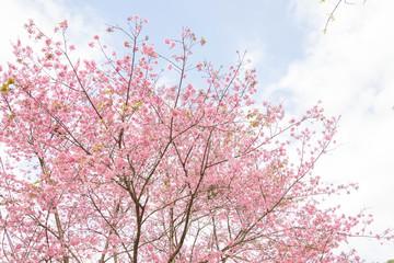 Thailand Sakura pink flower in ChiangMai