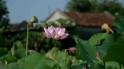 Wall Mural - Lotus flower. Rosy lotus flower & seed head at a pond.