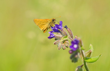 Small butterfly resting on blue flower